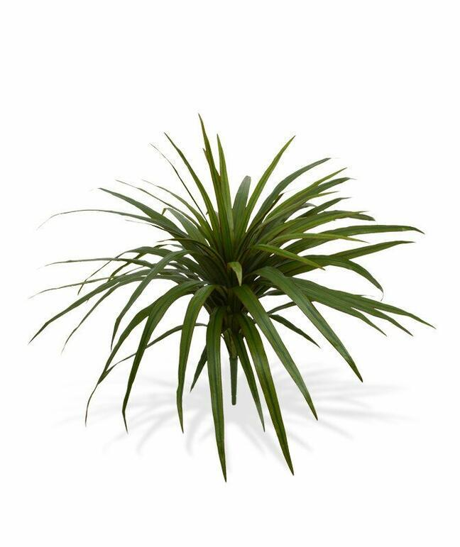 Artificial Dracena plant lined with 50 cm