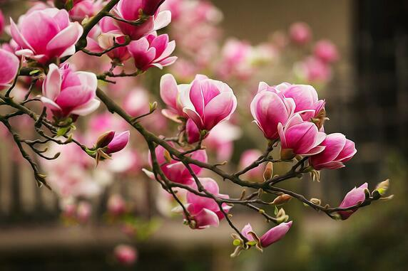 Magnolia and its diseases